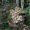 Massives Kernmauerwerk in einem verstürzten Wurzelballen im Burggraben.
